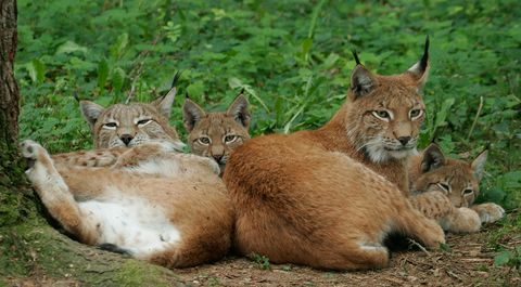 Luchs-Familie