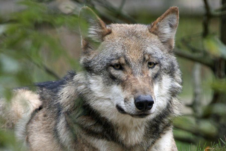 Wolf In Bayern